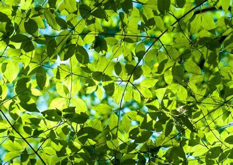 Frische grüne Blätter im Wald
