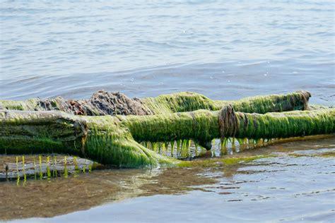 Aļģu izmantošanas daudzās iespējas — RTU zinātnieku ...