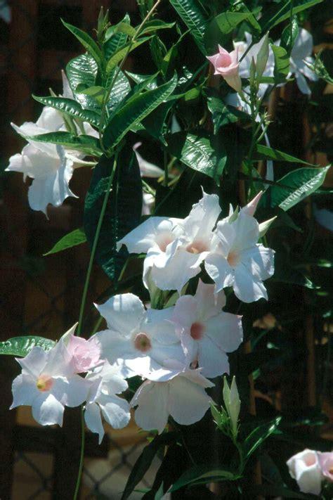 Tropical Flowering Vines Savingourboysinfo