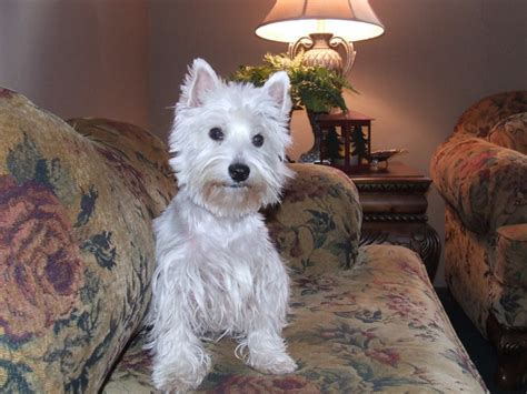 west highland white terrier dog breed information puppies