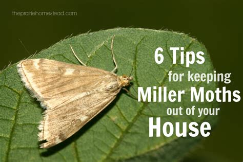 Moths In Pantry Where Do They Come From 6 Ways To Keep Miller Moths Out Of Your House The