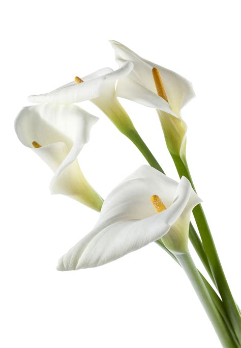 white calla flower white calla lily flower www imgkid com the image kid has it