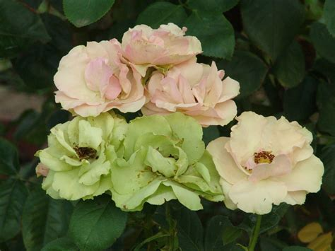 Greensleeves   Ludwigs RosesLudwigs Roses