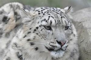 The snow leopard (Uncia uncia) | pgcps mess - Reform ...