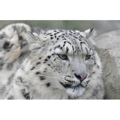The snow leopard (Uncia uncia)pgcps mess - Reform