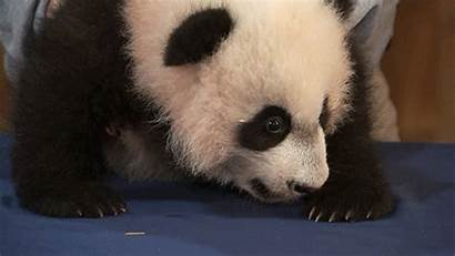 Panda Giant Zoo Today National Month Newest