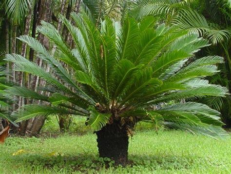 Fênix Plantas e Jardins: Cica: Da época dos dinossauros...