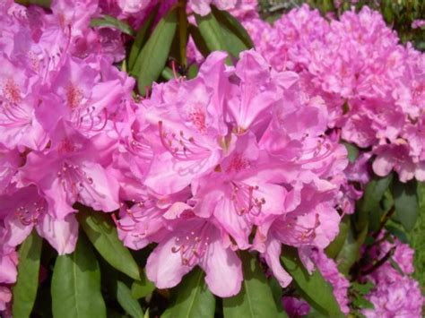 rhododendron growing zones rhododendron english roseum