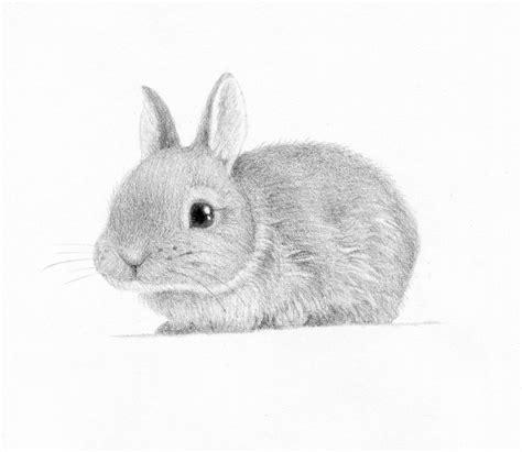 Rabbit Drawing Pencil Drawings Of Rabbits Drawing Pencil