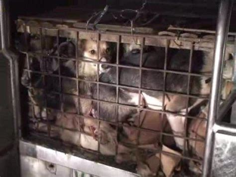 philippines illegal dog meat trade youtube