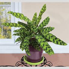 Rattlesnake Plant (calathea Lancifolia