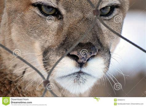 Puma arkivfoto. Bild av medf8ort, berg, nyfiket, soul ...