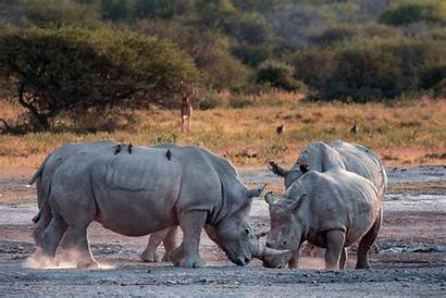 Crash Rhinos Caters Taking Nap Ayesha Cantor