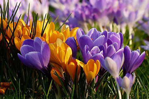 photo flower crocus violet yellow  image