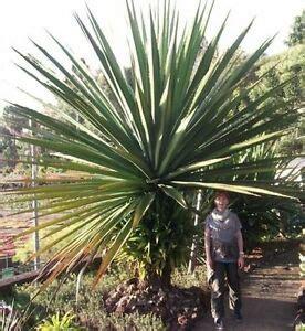 yucca palme winterhart mediterraner baum yucca aloifolia palme winterhart bis 30 grad samen deko ebay