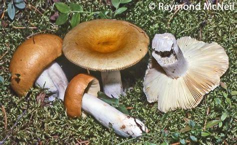 Russula decolorans/ Russule décolorée | Collection Raymond ...