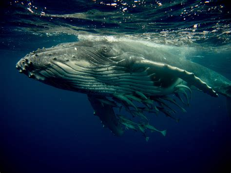 Humpback Whale of Tonga | Abyss