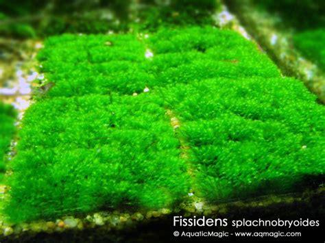 plant net live aquarium fissiden java moss pellia new ebay