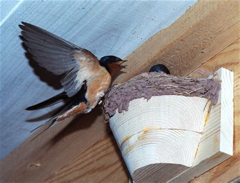 how to get rid of barn swallows folkways notebook barns barn swallows and population decline