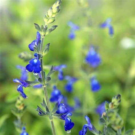 cuisine sauce blanche sauge arbustive à floraison bleu roi salvia 39 bleu armor 39
