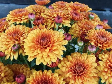 how to plant mums 1000 ideas about chrysanthemum plants on pinterest yellow chrysanthemum chrysanthemums and
