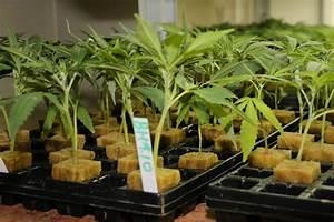 Fuchsien Stecklinge Kaufen : cannabis anbau samen und stecklinge ~ Michelbontemps.com Haus und Dekorationen