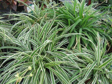 plante pour chambre à coucher chlorophytum pépinière brown pépinière brown