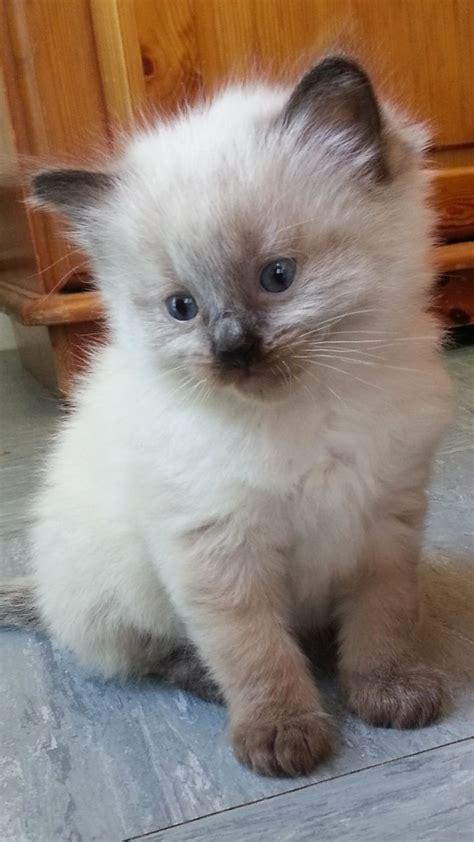25+ Best Ideas About Ragdoll Cat Breeders On Pinterest