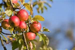 Wann Apfelbaum Pflanzen : wann und wie sollte man einen apfelbaum beschneiden ~ Lizthompson.info Haus und Dekorationen