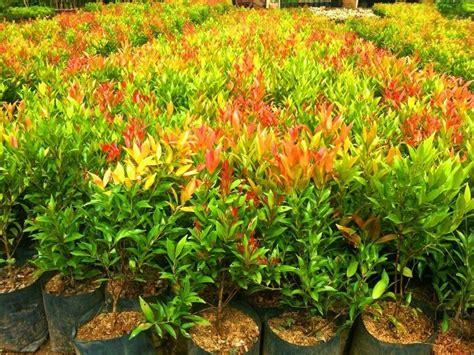 budidaya tanaman pucuk merah petani top