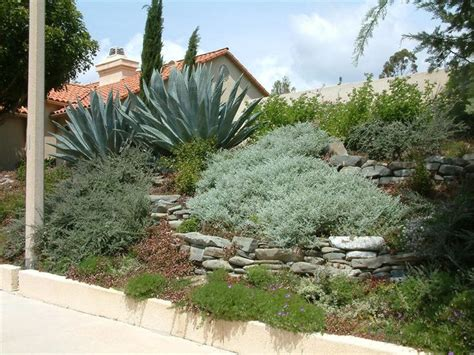 agave tree and landscape slo hillside garden featuring agave americana helichrysum petiolare and westringia morning