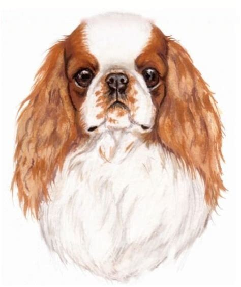 english toy spaniel dog breed information  images krl