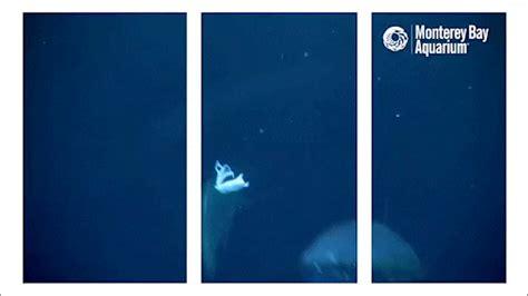 bluefin tuna gifs find share  giphy