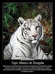 Tigre blanco - Wikipedia, la enciclopedia libre