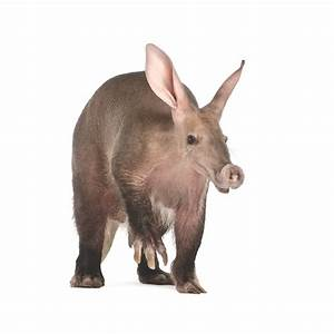 Why do aardvarks eat ants? | How It Works Magazine