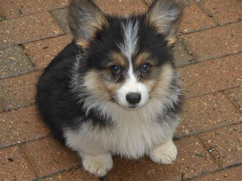 Fluffy Corgi! I Have Always Wanted One Of These! Too Precious