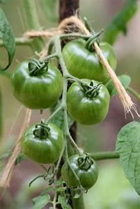 Quand Semer Les Tomates : le semis de tomates et le repiquage des plants les ~ Melissatoandfro.com Idées de Décoration
