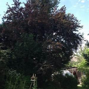 Was Ist Das Für Ein Baum : was ist das f r ein baum kann man die fr chte essen ~ Watch28wear.com Haus und Dekorationen