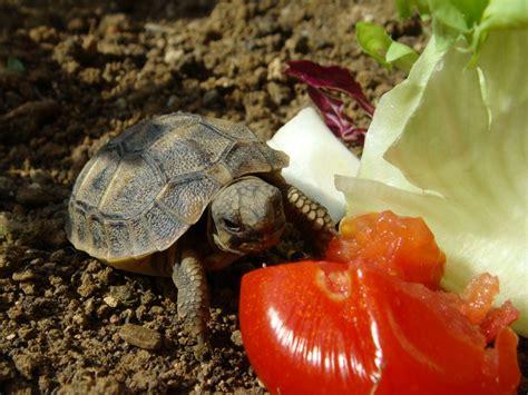 tartarughe alimentazione alimentazione terrestri tartaweb
