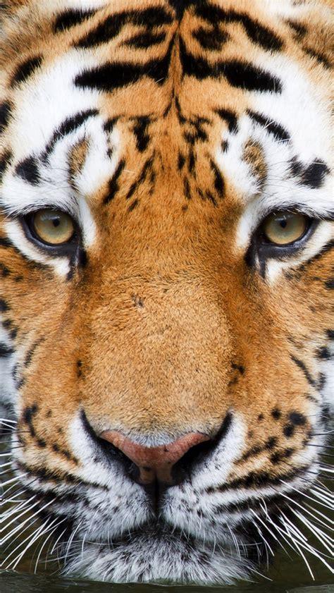 tiger face wallpaper  wallpapersafari
