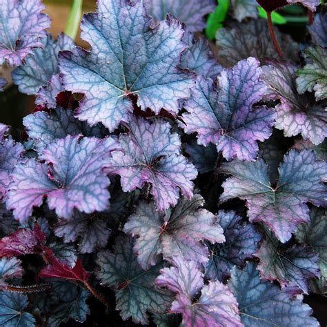 Plants Online Nursery by Heuchera Frosted Violet