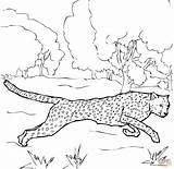 Cheetah Coloring Pages Print Animal sketch template