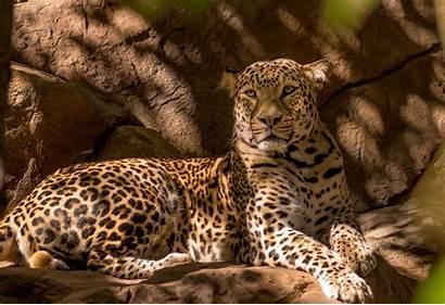 Wild Cat Wallpapers Desktop Cool Fantasy Leopard