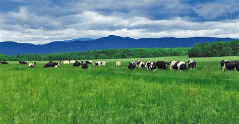 dairy farm with holstein cows in pasture and three silos dairy cows on pasture an environmental plus on pasture