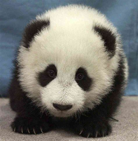 The Gallery For --> Cute Panda Cubs