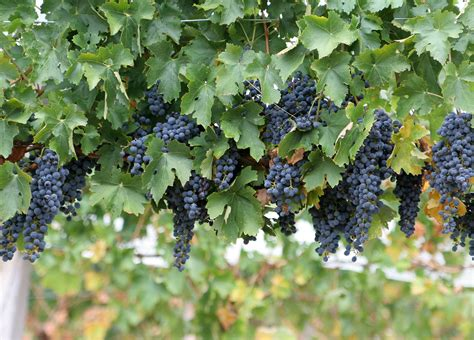 grape plant pictures stars socal succulents and cactus victorian kitchen gardens ii grapes so coast table grapes