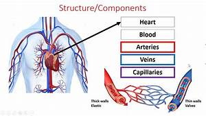 Gcse Pe Edexcel - Component 1 - Cardio-respiratory System - Part 1