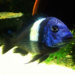 African Cichlid Contest