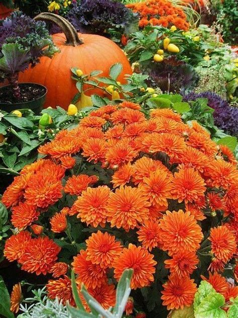 orange mums orange mums pictures photos and images for facebook tumblr pinterest and twitter