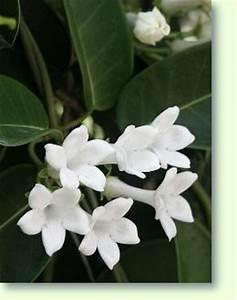Zimmerpflanze Weiße Blüten : stephanotis erfolgreich pflegen pflanzenfreunde ~ Markanthonyermac.com Haus und Dekorationen